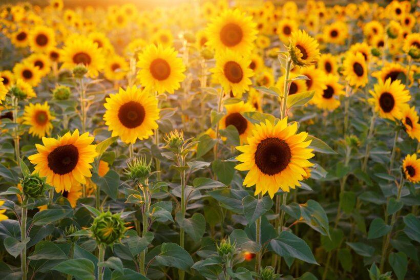 hình ảnh đẹp hoa hướng dương