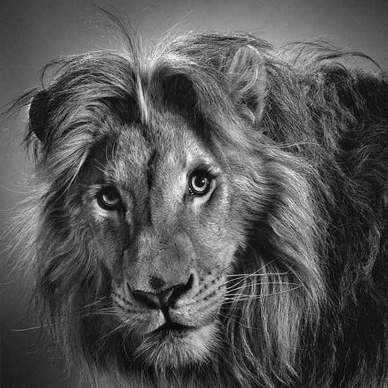 tranh ảnh vẽ bút chì con sư tử