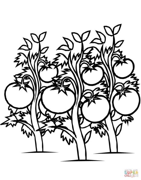 tranh tô màu cây và quả cà chua cho bé