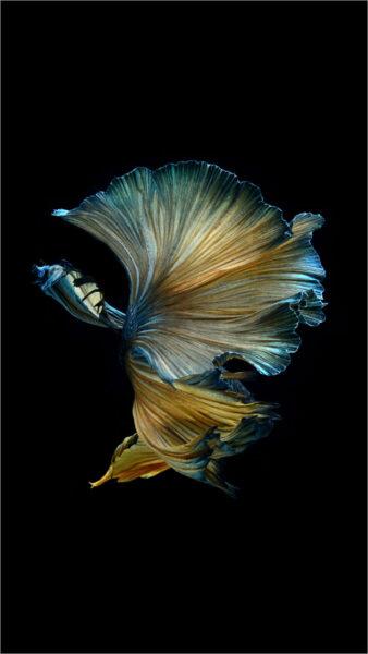 ảnh cá chọi đẹp tuyệt vời
