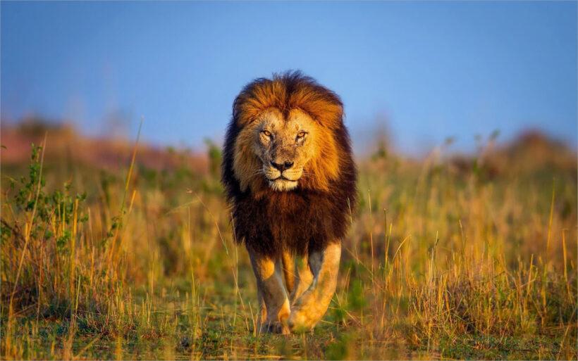 ảnh nền sư tử đực có bờm trên cánh đồng cỏ hoang dã