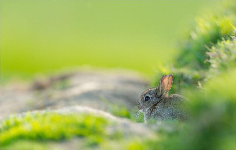 background con thỏ trên nền cỏ xanh