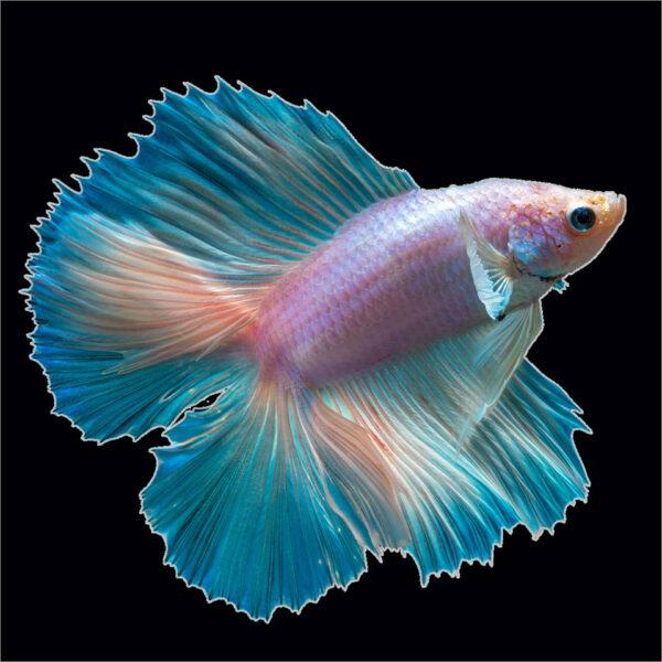 cá xiêm đá màu hồng xanh ngọc