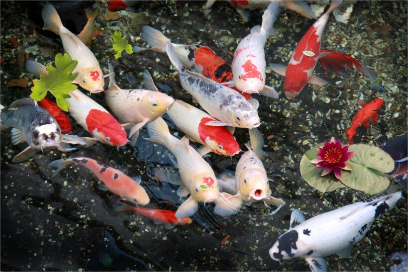 các loại cá koi