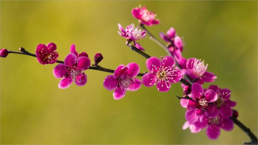 Hìn nền nhánh hoa mùa xuân ngày tết