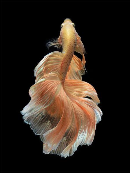 hình ảnh cá chọi chất lượng cao