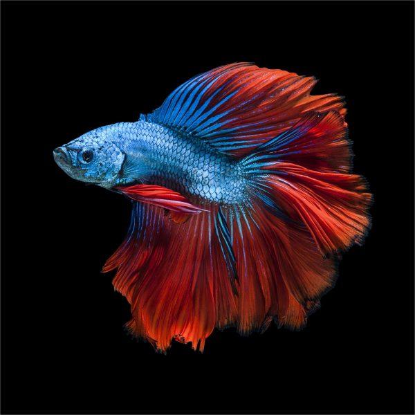 hình ảnh cá chọi đẹp