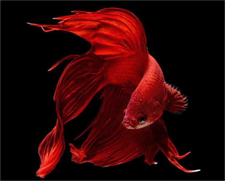hình ảnh cá chọi màu đỏ đẹp