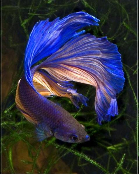 hình ảnh cá chọi xanh lam đẹp