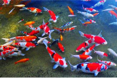 hình ảnh cá Koi đẹp nhất