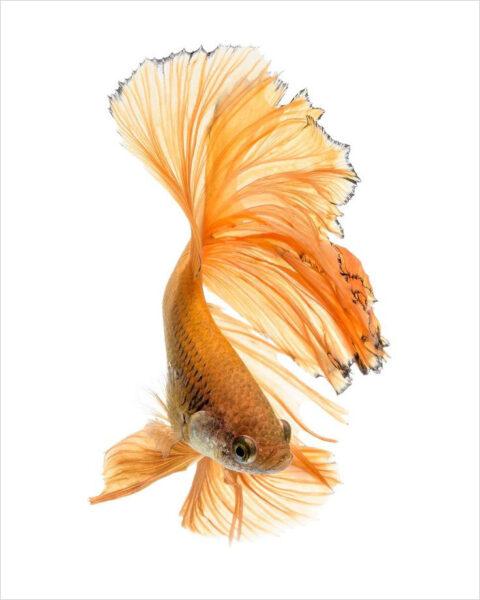 hình ảnh cá xiêm vàng nhạt
