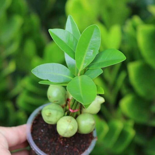 hình ảnh cây bonsai may mắn