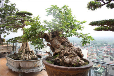 hình ảnh cây bonsai mini đẹp