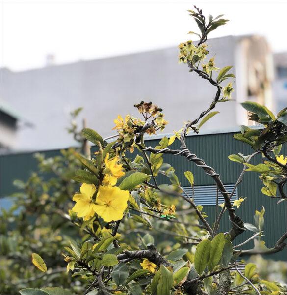 Hình ảnh cây hoa mai tuyệt đẹp mùa xuân