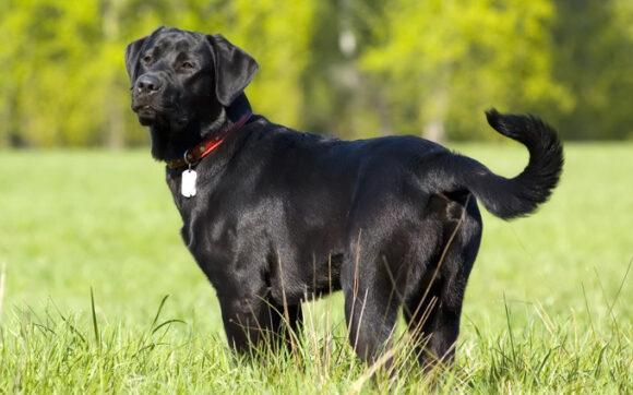 hình ảnh chó mực đẹp nhất (12)