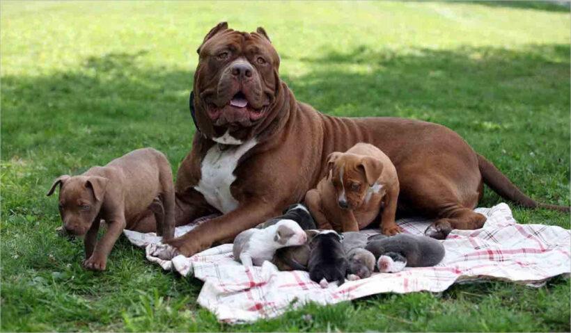 hình ảnh chó Pitbull đẹp nhất (1)