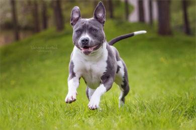 hình ảnh chó Pitbull đẹp nhất