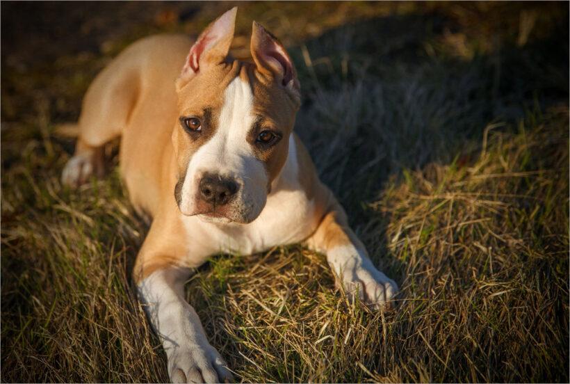 hình ảnh chó Pitbull đẹp nhất (6)