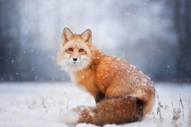 hình ảnh con cáo đẹp dễ thương nhất