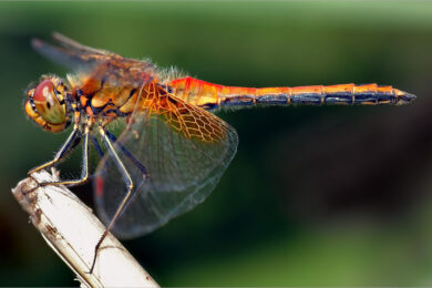 Hình ảnh con chuồn chuồn đẹp nhất