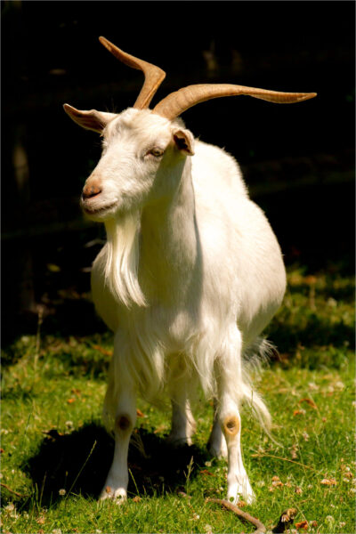 white irish goat