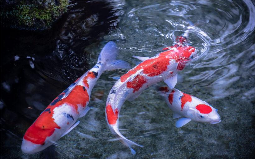 hình ảnh hồ cá koi đẹp