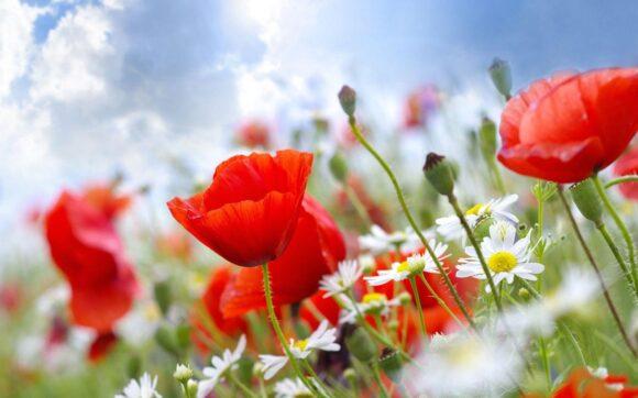 Hình ảnh hoa anh túc đẹp