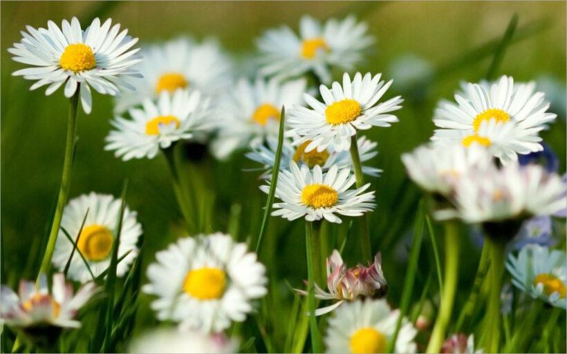 Hình ảnh hoa cúc trắng mùa xuân