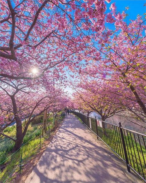 Hình ảnh hoa đào mùa xuân dưới nắng