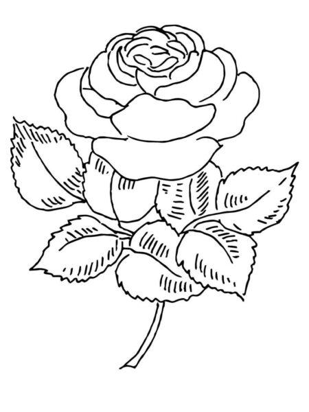 Hình ảnh hoa hồng vẽ bút chì đẹp ấn tượng nhất (10)