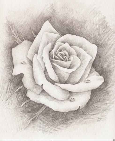 Hình ảnh hoa hồng vẽ bút chì đẹp ấn tượng nhất (12)