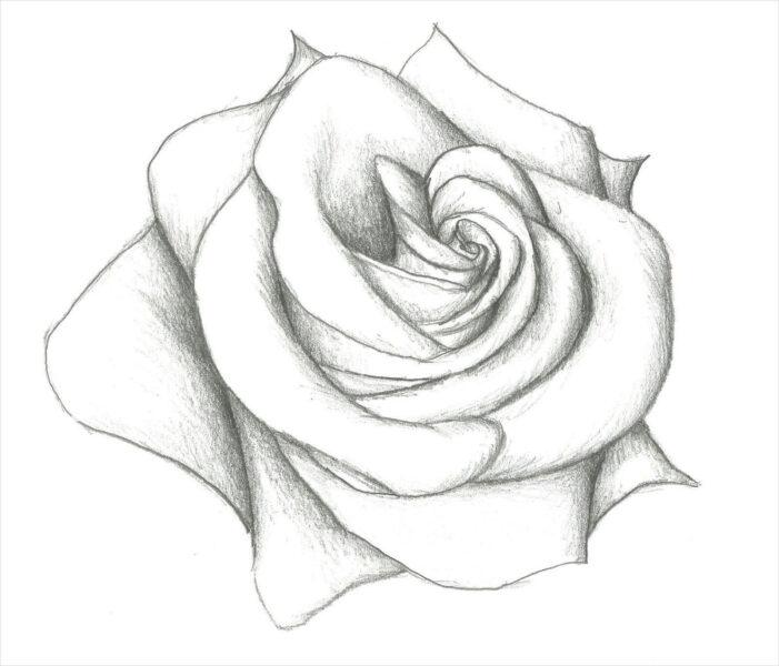 Hình ảnh hoa hồng vẽ bút chì đẹp ấn tượng nhất (20)