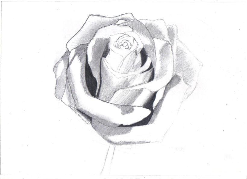 Hình ảnh hoa hồng vẽ bút chì đẹp ấn tượng nhất (29)