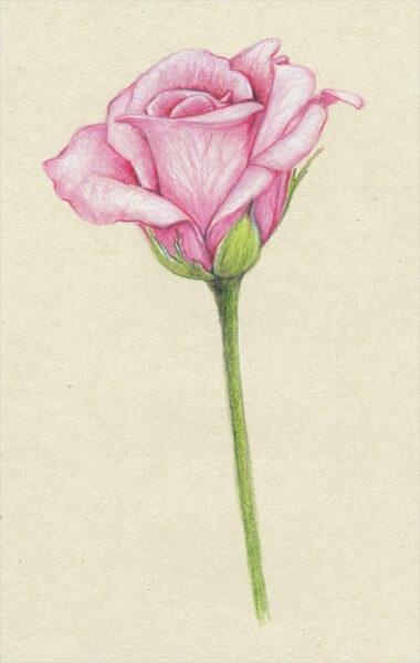 Hình ảnh hoa hồng vẽ bút chì đẹp ấn tượng nhất (30)