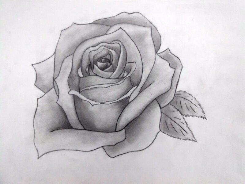 Hình ảnh hoa hồng vẽ bút chì đẹp ấn tượng nhất (4)