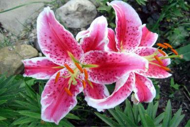 hình ảnh hoa ly đẹp nhất (7)