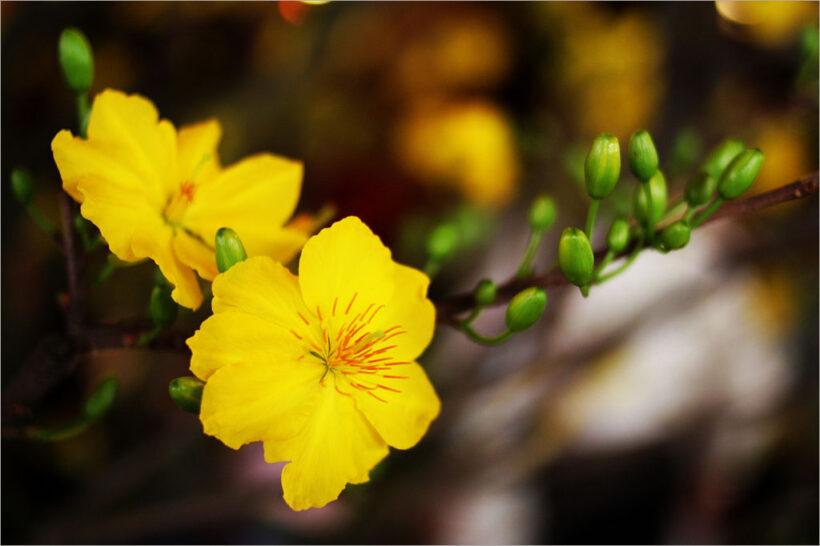 Hình ảnh hoa mai vàng mùa xuân