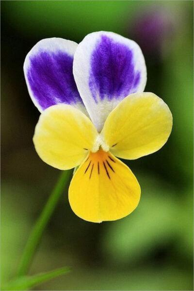 Hình ảnh hoa Păng Xê đẹp nhất và Ý nghĩa của hoa Phăng