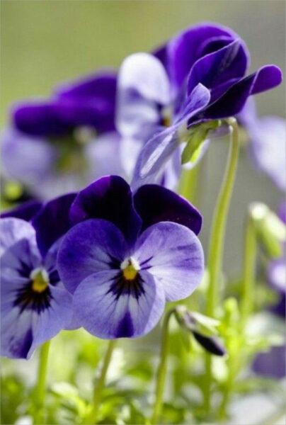 Hình ảnh hoa Păng Xê đẹp nhất và Ý nghĩa hoa Phăng (12)