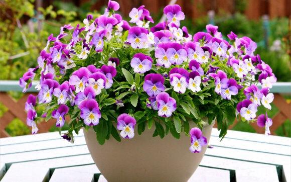 Hình ảnh hoa Păng Xê đẹp nhất và Ý nghĩa hoa Phăng (13)