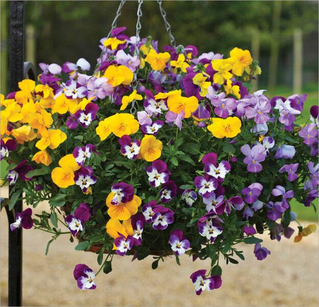 Hình ảnh hoa Păng Xê đẹp nhất và Ý nghĩa hoa Phăng (16)
