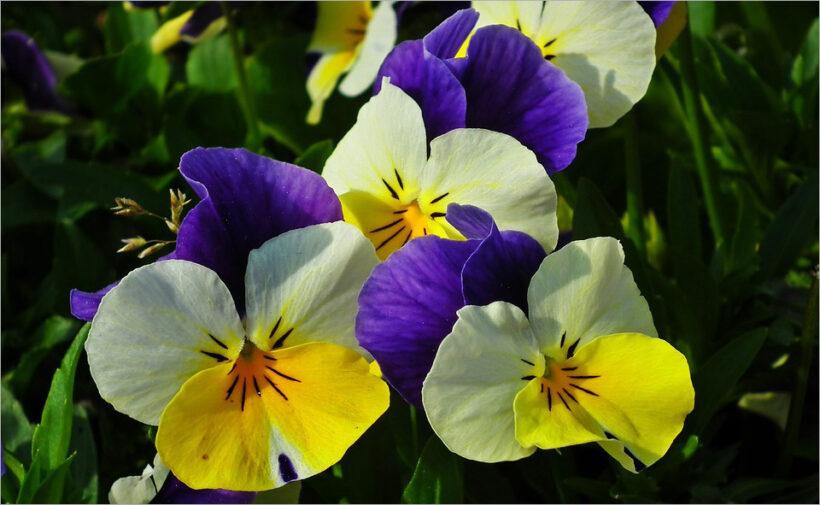 Hình ảnh hoa Păng Xê đẹp nhất và Ý nghĩa hoa Phăng (21)