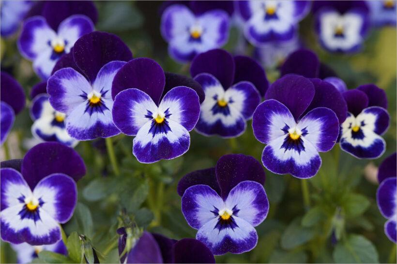 Hình ảnh hoa Păng Xê đẹp nhất và Ý nghĩa hoa Phăng (22)