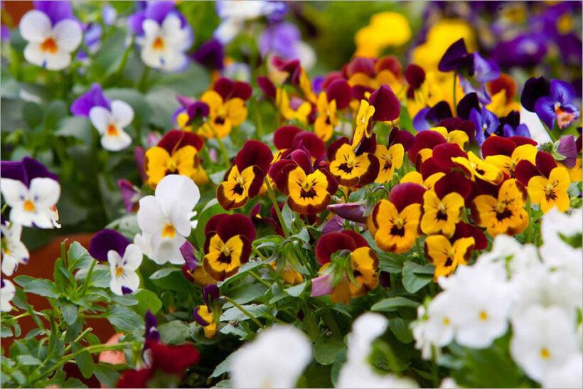 Hình ảnh hoa Păng Xê đẹp nhất và Ý nghĩa hoa Phăng (4)