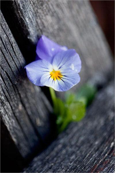 Hình ảnh hoa Păng Xê đẹp nhất và Ý nghĩa hoa Phăng (6)