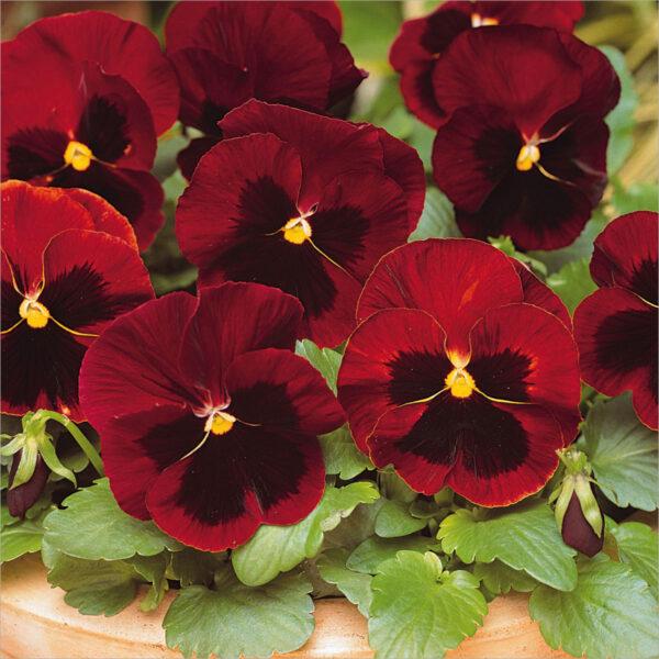 Hình ảnh hoa Păng Xê đỏ đẹp nhất và Ý nghĩa hoa Phăng
