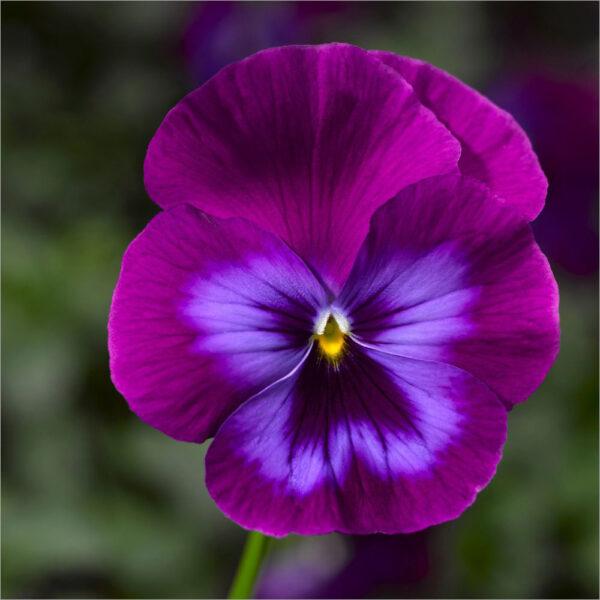 Hình ảnh hoa Păng Xê tím xanh đẹp nhất và Ý nghĩa hoa Phăng (19)