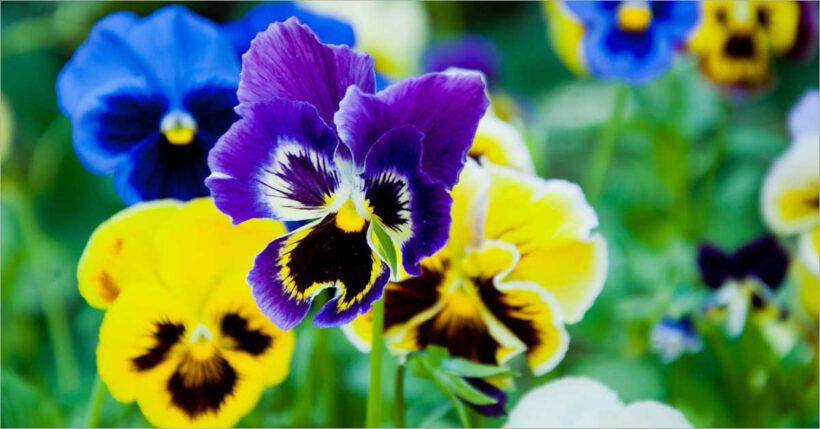 Hình ảnh hoa Păng Xê vàng xanh đẹp nhất và Ý nghĩa hoa Phăng (20)