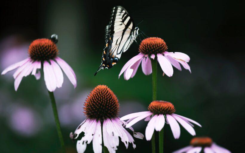 hình ảnh hoa và bướm mùa xuân
