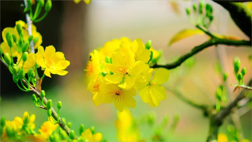 Hình ảnh nền hoa mai đẹp ngày tết xuân